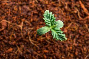 Substrat kokosowy – zalety uprawy z jego wykorzystaniem