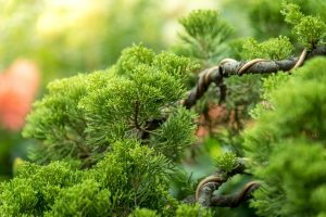 Uprawa drzewka bonsai – co będzie potrzebne?